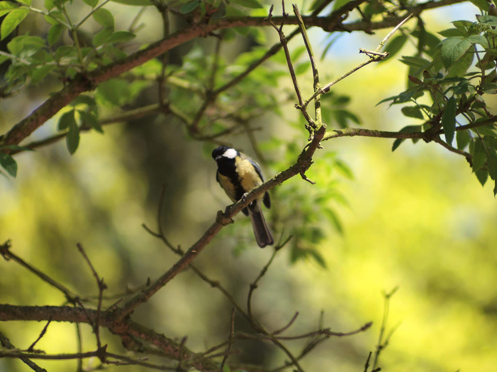 Great tit in mystic forest by pagan-live-style