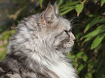 Silver Grey coon 2