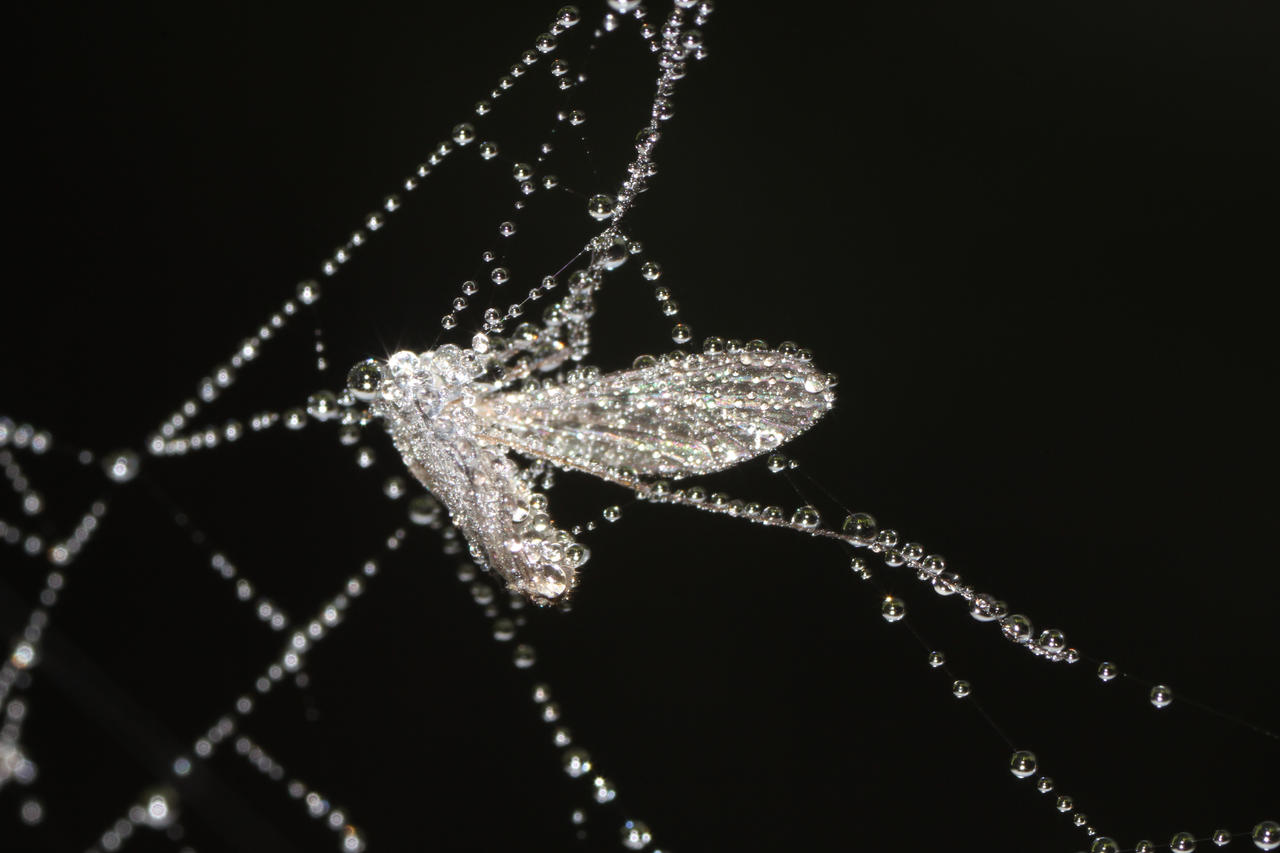 Morningdew on fly in cobweb by pagan-live-style