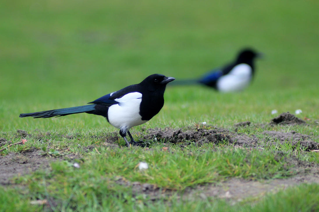 Two Magpies by pagan-live-style