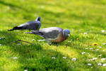 mirrored lonesome pigeon