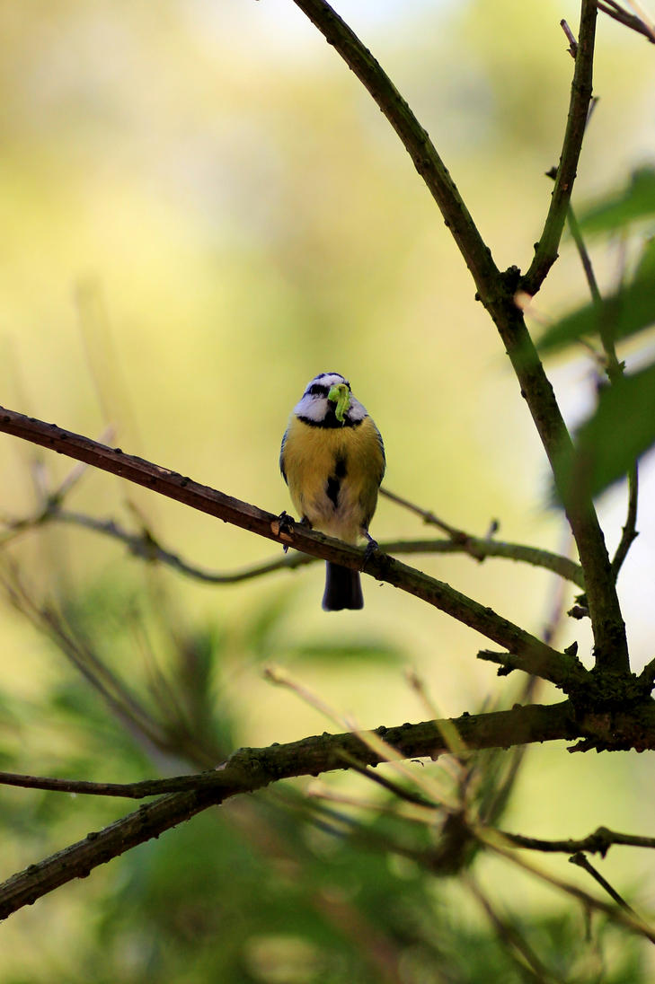 Blue tit wiyh catterpillar for food by pagan-live-style