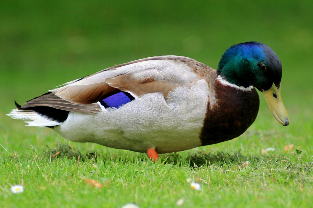 Vibrant lawn duck by pagan-live-style