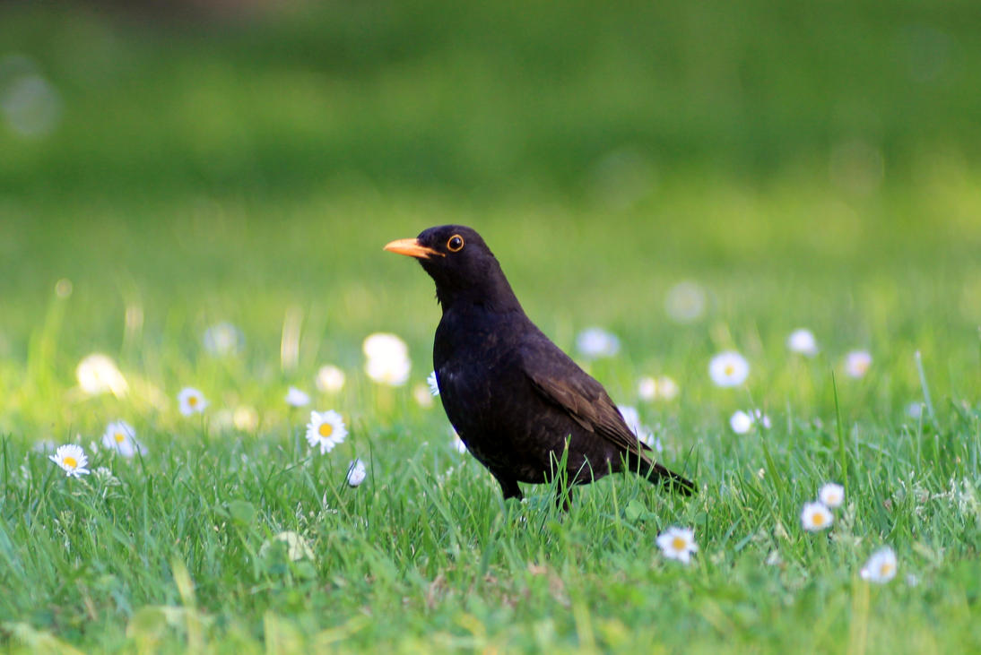 Curious Blackbird by pagan-live-style