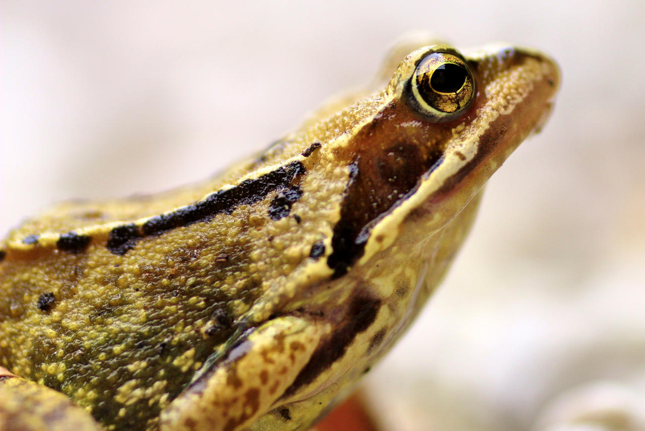 Portrait of our garden frog with a Bokina lens