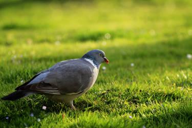 same pigeon and same lens