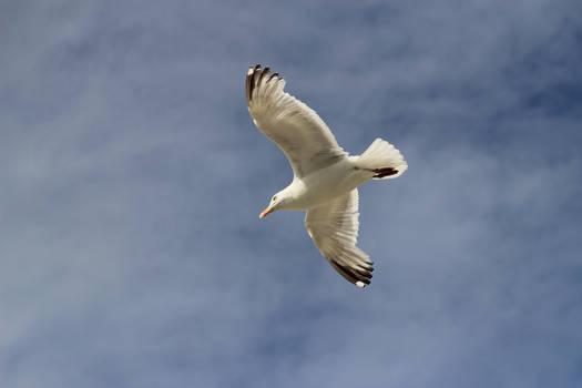 Dutch seagull