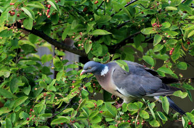 Same pigeon same lens, but in the backyard