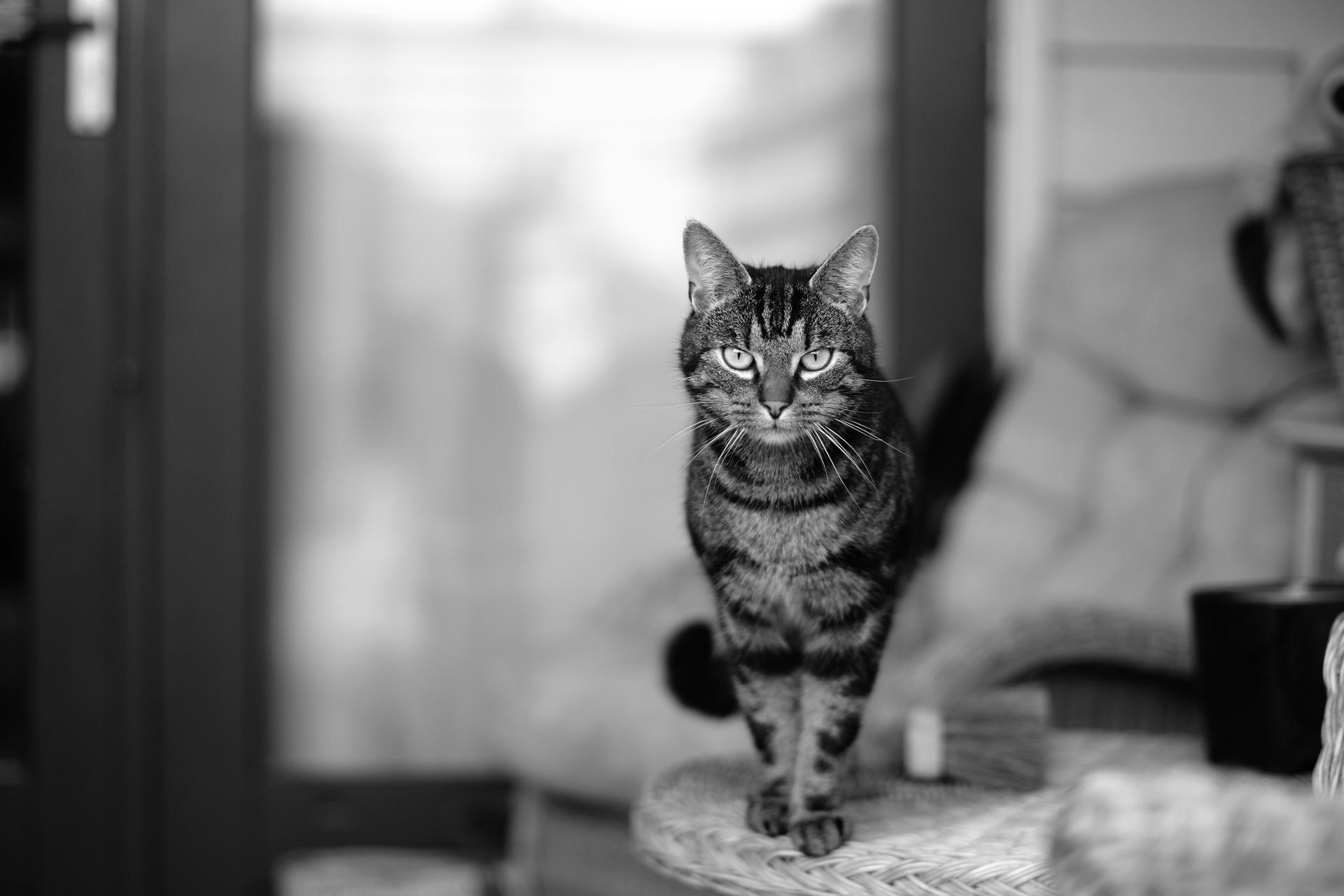 Cat taken with TTartisan F1,2 50mm  part 3