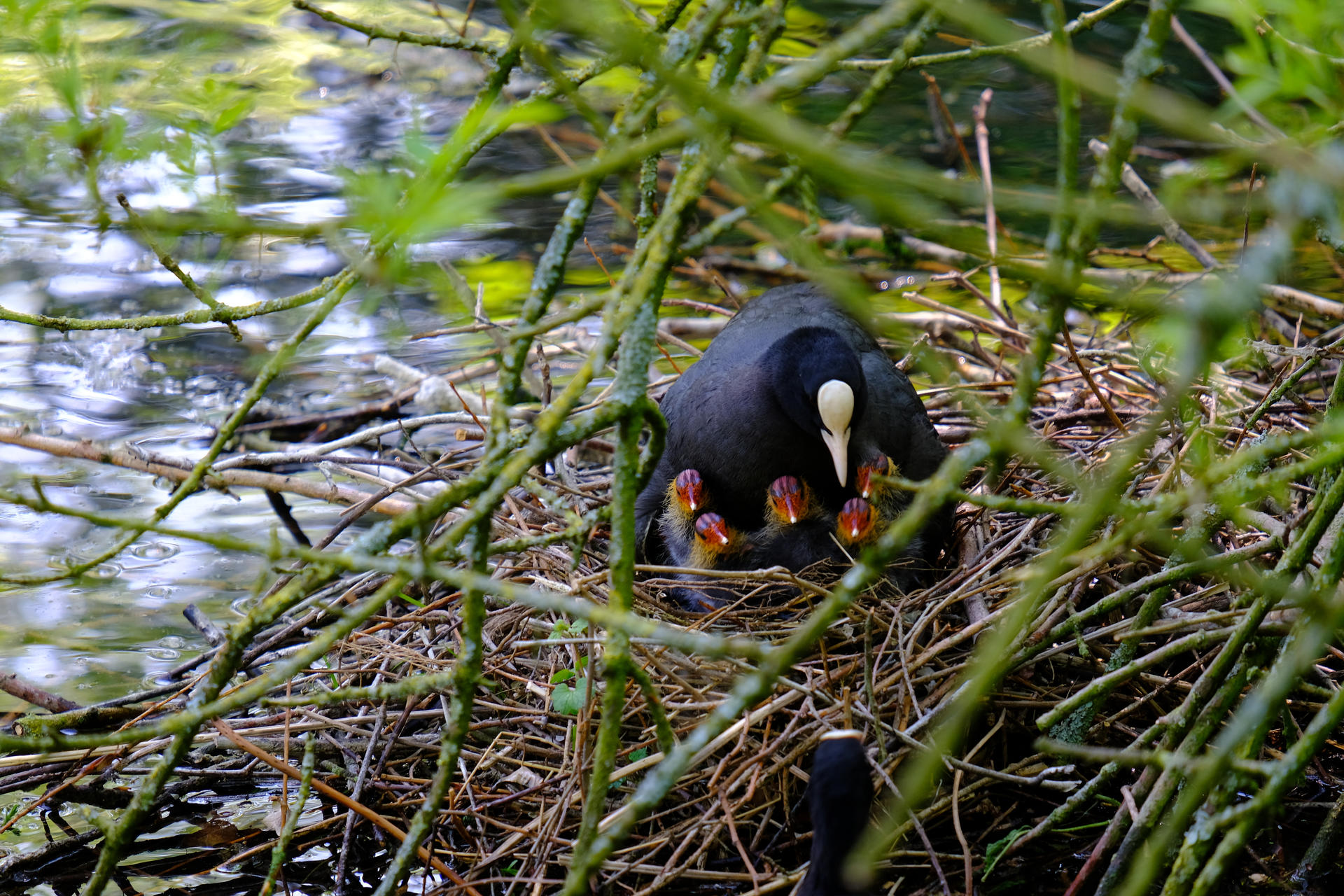 Coot family 3