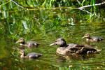 Ducklings again
