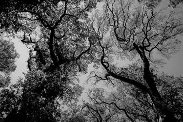 Graphic forestal canopy view Black and White