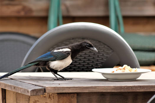Breakfast for the magpies 1