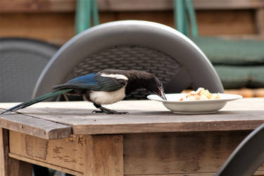 Breakfast for the magpies 2