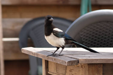 Breakfast for the magpies 3