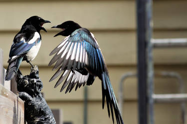 Breakfast for the magpies 4