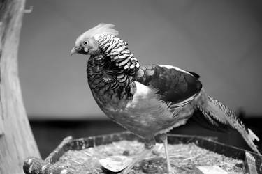 Golden pheasant in B and W with 67 year old lens