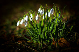 Harbingers of spring by napsis