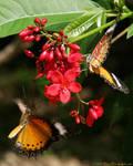 Cayman Butterflies