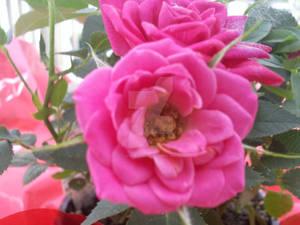 Bush Roses, Como Park, St Paul, MN