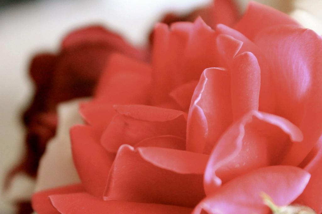 Soft Pink Petals by Hannahjanelee