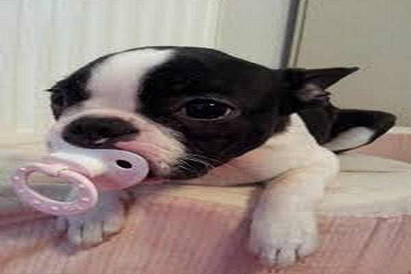 Baby Boston with a Pacifier by Blood-Moon1979