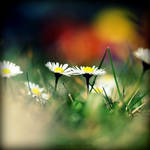 .:Daisy's Daisies:.