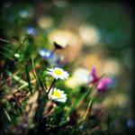 .:Daisy's Daisies III:.