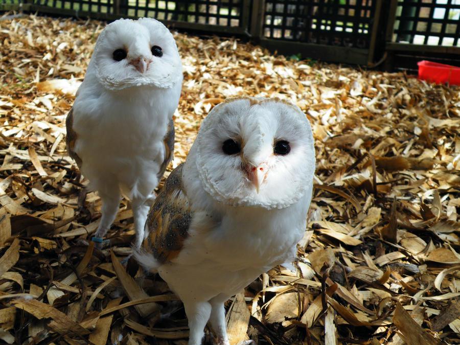 Baby Barn Owls By Queli Kachina On Deviantart
