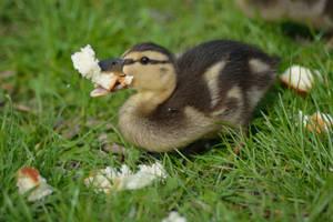 Feeding the birds - Duckling by Tivil