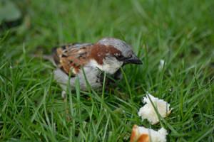 Feeding the birds - Sparrow by Tivil