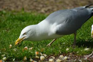 Feeding the birds - Seagull by Tivil
