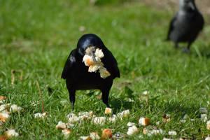 Feeding the birds - Crow by Tivil