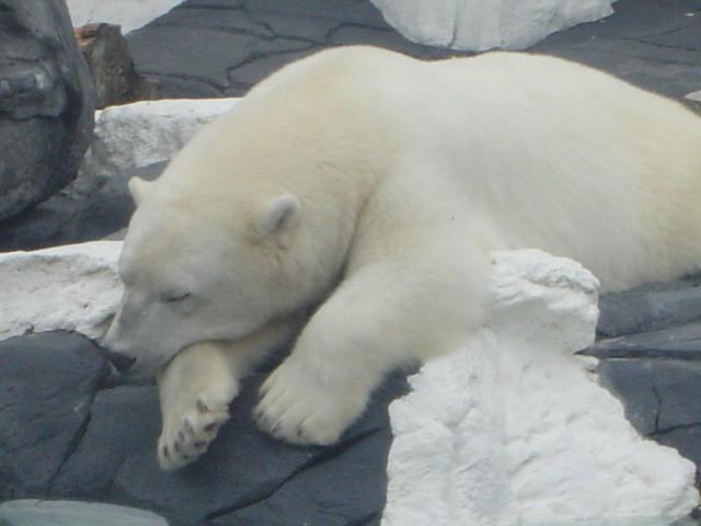 Polar Bear-2 by Sumar