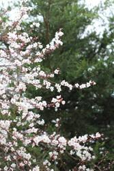 Plum trees outside window 021