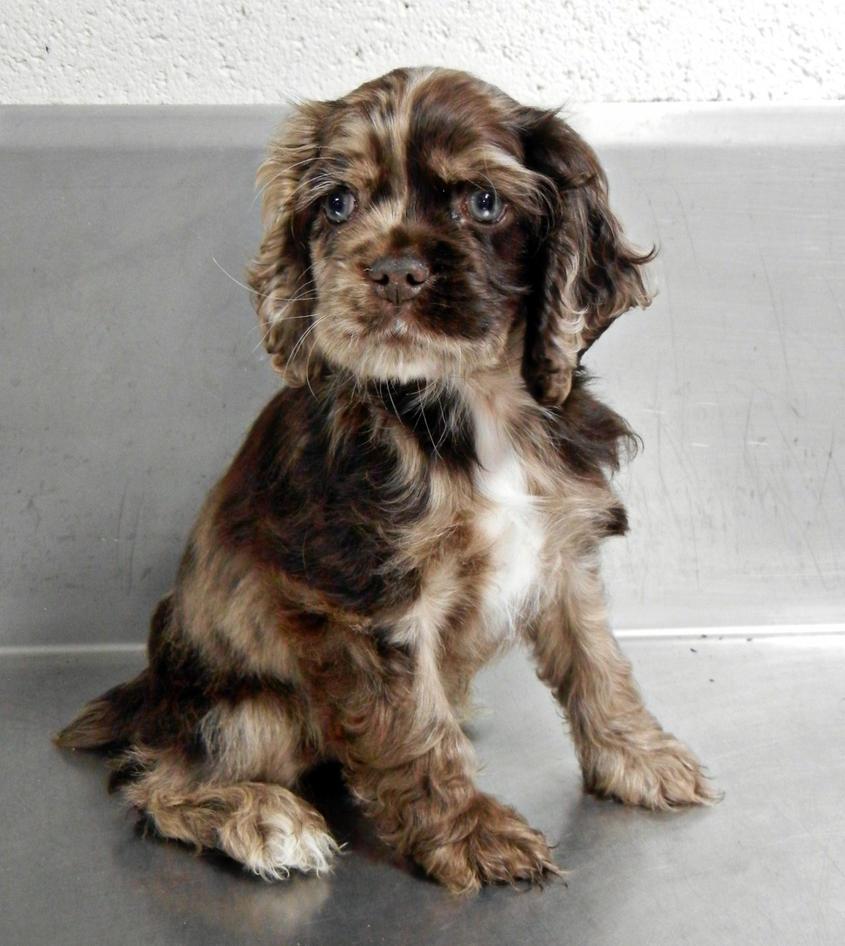 Cocker Spaniel Puppy by jennalynnrichards