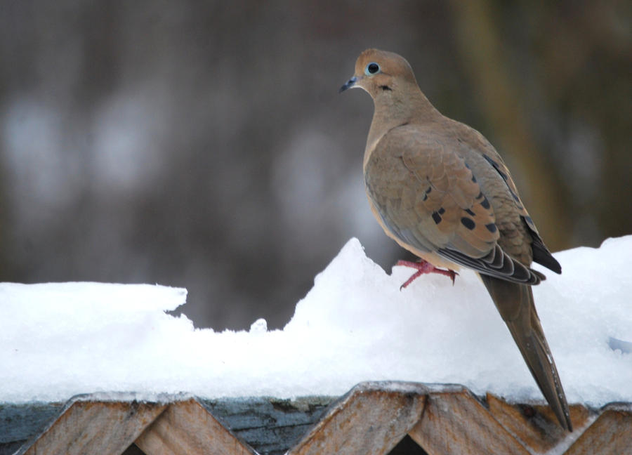Mourning Dove in the Snow by jennalynnrichards