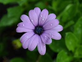 Rainy Daisy by jennalynnrichards