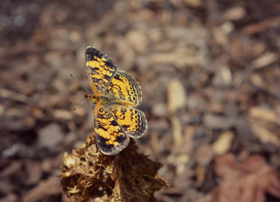 Pearl Crescent Butterfly by jennalynnrichards