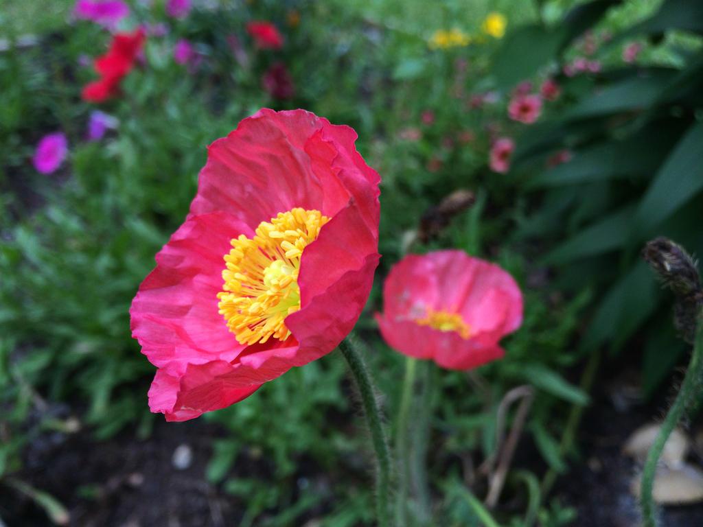 Garden Poppies by jennalynnrichards