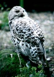 Snowy owl shot