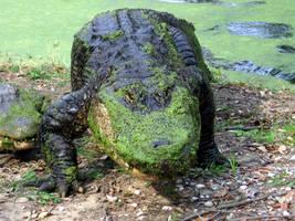 Alligator by GeuxLSUTigers