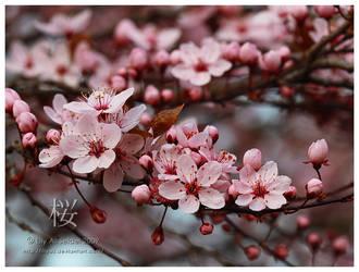 Sakura Blossoms by Viliggoly
