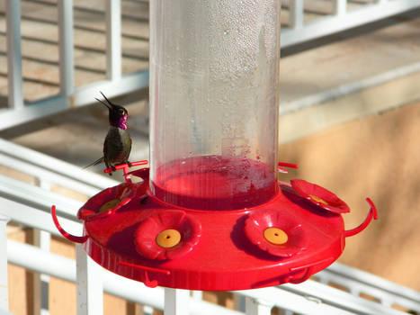 Anna's Hummingbird Chirping