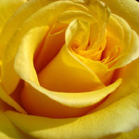rose favourites 3 by Dieffi