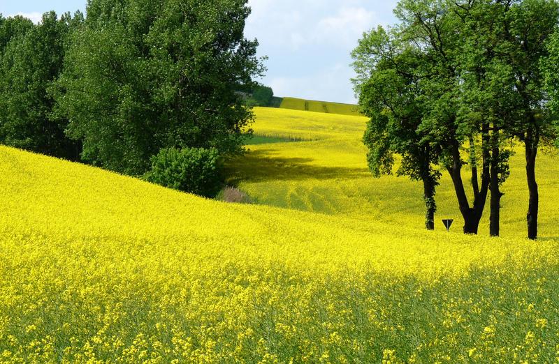 Yellow RhAPSapsody by Dieffi