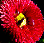 red flower drops on daisy