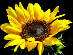 Vicki's Sunflower