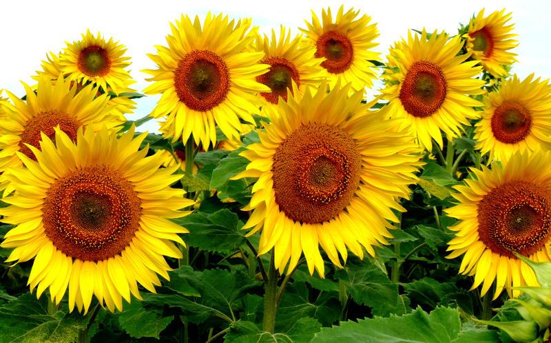 Цветок подсолнуха картинки 5
