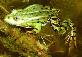 Edible Frog by Dieffi
